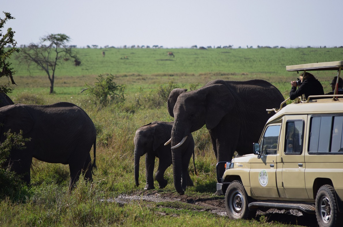 Serengeti  Plains, Serengeti National Park, Tanzania.  Οι ελέφαντες δείχνουν να μην ενοχλούνται από τα αναρίθμητα αυτοκίνητα που τα παρακολουθούν. Τους εντοπίσαμε από μακριά, διότι κινούνταν σε μεγάλες ομάδες και σε ανοιχτές εκτάσεις. Και αν κάποιο σημείο είναι πιο πυκνό, φροντίζουν να το ισοπεδώνουν, αφού σπάνε τα δέντρα στην προσπάθειά τους να τραφούν. Τρέφονται επί 16 ώρες την ημέρα με χόρτα, ενώ σχηματίζουν μητριαρχικές ομάδες.