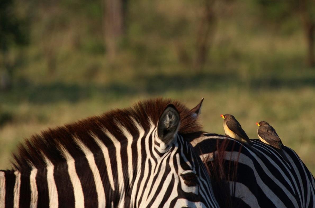Seronera, Serengeti National Park, Tanzania. Τα αμέτρητα είδη πουλιών δεν θα μπορούσαν να λείπουν από το ζωικό μωσαϊκό του Εθνικού Πάρκου. Ωστόσο μπροστά στο μεγαλείο των αφρικανικών τοπίων και εικόνων, ήταν δύσκολο να τα εντοπίσουμε. Και όταν αυτό συνέβαινε, συνειδητοποιούσαμε ότι καθένα από αυτά, αποτελούσαν ένα φυσικό χρωματολόγιο.
