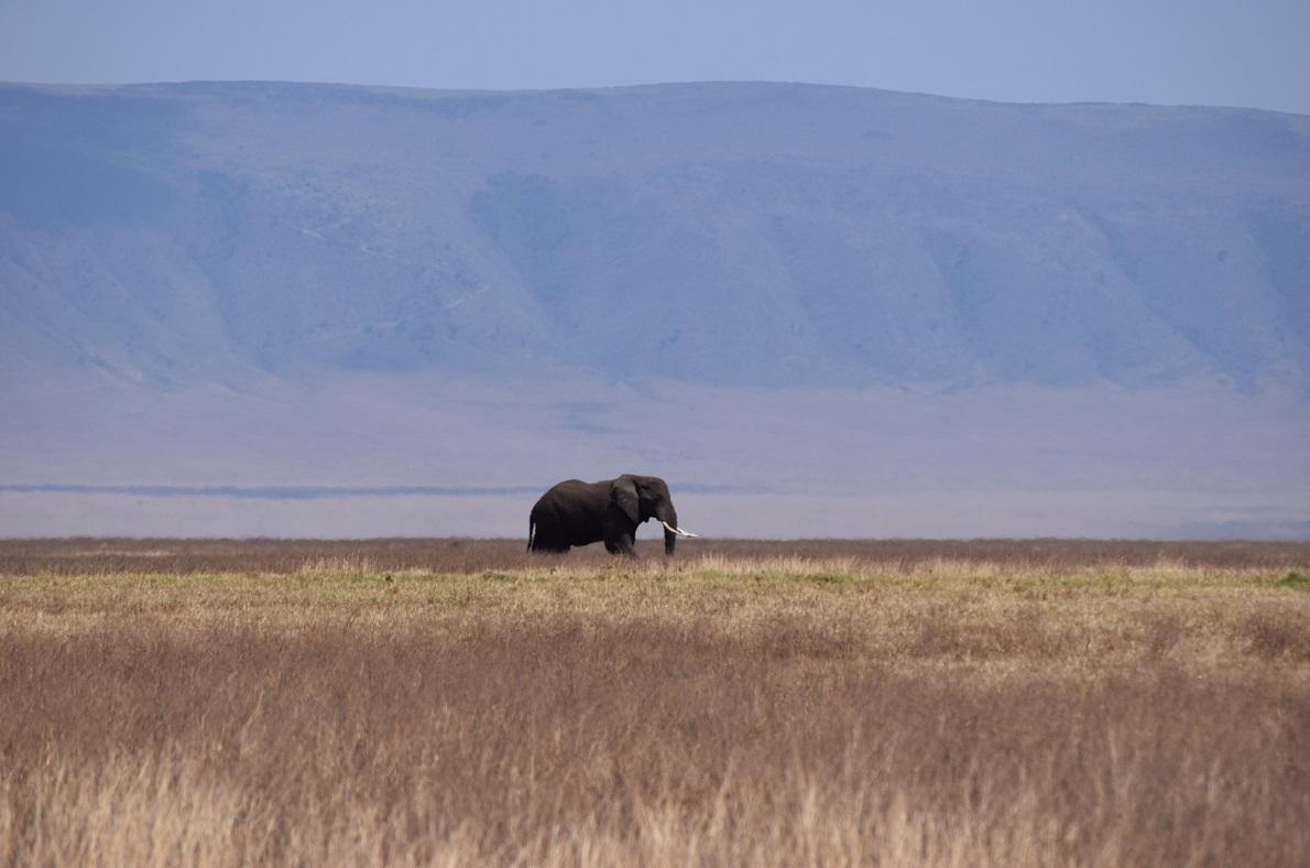 Ngorongoro Crater, Tanzania. Συνήθως οι ελέφαντες μετακινούνται σε ομάδες, αλλά ο συγκεκριμένος βρέθηκε να περιπλανιέται μόνος του. Ο κρατήρας αποτελεί ενός είδους τοίχος, που η πλειοψηφία των ζώων δεν μπορεί να ανέβει, και επομένως είναι «εγκλωβισμένα» εκεί. Η αίσθηση, όταν βρεθήκαμε μέσα στον κρατήρα ήταν μοναδική. Είναι σαν να βρίσκεσαι μέσα σε ένα μεγάλο μπολ, μαζί με άγρια ζώα, μοναδική βλάστηση και συνεχεία αντιθέσεις.