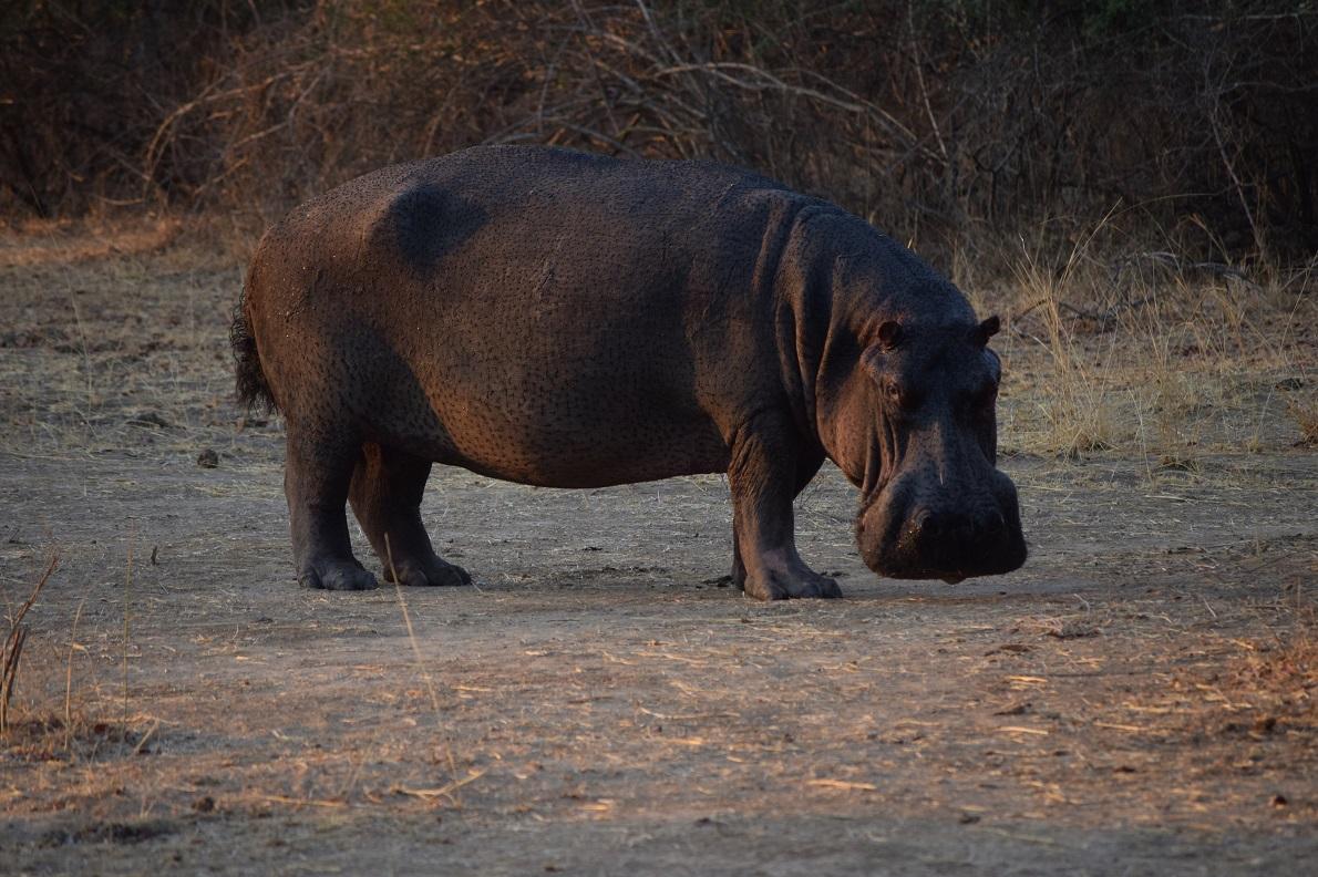 South Luangwa National Park, Zambia.  Τον συναντήσαμε κατά τη διάρκεια του night safari, μόλις είχε δύσει ο ήλιος. Τον βρήκαμε να τρώει, τρόμαξε στην αρχή, μετά μας έριξε ένα απαξιωτικό βλέμμα και συνέχισε την πορεία του. Ο ιπποπόταμος ζει όλη τη διάρκεια της ημέρας μέσα στο νερό, ενώ όταν νυχτώνει ψάχνει για τροφή εκτός αυτού. Αν και φυτοφάγος, αποτελεί το πιο επικίνδυνο ζώο για τον άνθρωπο, λόγω της επιθετικότητας του όταν νιώθει ότι απειλείται. Μπορεί να αναπτύξει ταχύτητα μέχρι και 40χλμ την ώρα.