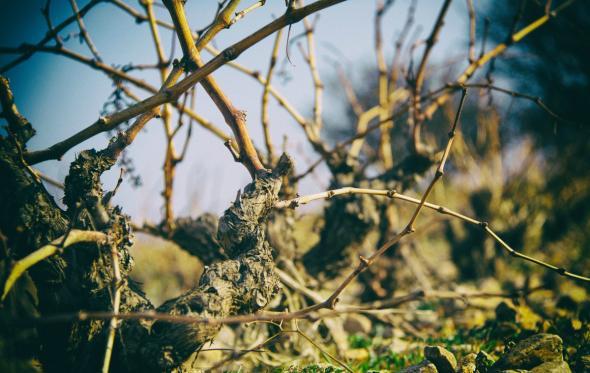 Σαββατιανό, ο αριστοκράτης μάγκας του Αττικού αμπελώνα