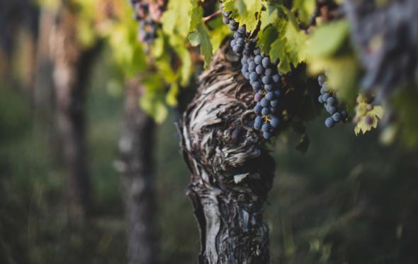 Τι σημαίνει το «παλαιά κλήματα» στην ετικέτα του κρασιού και γιατί γίνεται τόση κουβέντα για αυτά;