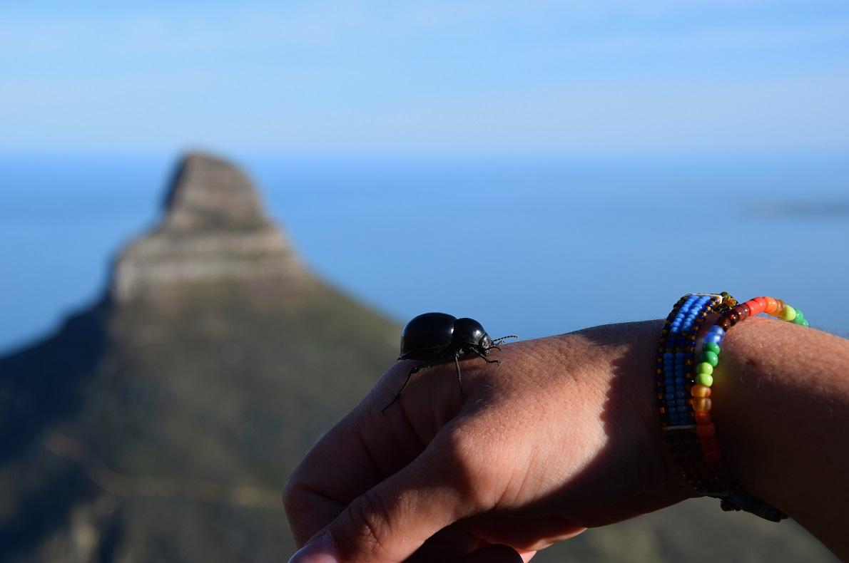 Table Mountain, Cape Town, South Africa.  Η ανάβαση στο βουνό του Cape Town, αποτελεί την καλύτερη δραστηριότητα σύμφωνα με πολλά sites, οπότε δεν μπορούσαμε να το αμελήσουμε. Με τη βοήθεια του Riaan (Table Mountain Hike) ανεβήκαμε λοιπόν το μονοπάτι Indian Venster, και η αίσθηση ήταν ανεπανάληπτη. Αποφύγετε τα blister bush, τα colophon beetles όπως της φωτογραφίας και μην διστάσετε να το κάνετε αν βρεθείτε στο Cape Town.