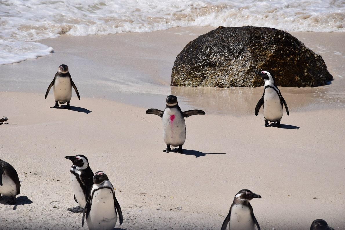 Boulders Beach, Simon's Town, South Africa.  Η αποικία αυτή των Αφρικανικών Πιγκουίνων είναι από τις λίγες εναπομείνασες στην Νότια Αφρική και τη Ναμίμπια. Είναι πολύ δύσκολο να προσεγγίσεις τους πιγκουίνους, καθότι μπορούν να προκαλέσουν σοβαρούς τραυματισμούς με το ράμφος τους παρά το μικρό τους μέγεθος. Αυτό δεν επηρέασε τον ενθουσιασμό μας για τα αξιαγάπητα αυτά πλάσματα.