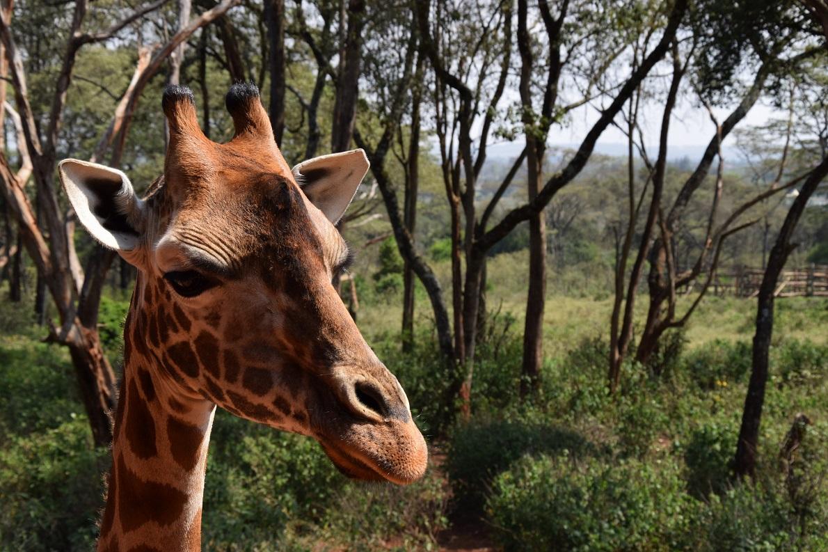 Giraffe Centre, Karen, Nairobi, Kenya. Η πρωτεύουσα της Kenya, διαθέτει πολύ πράσινο και πολλά πάρκα. Φεύγοντας από το συνωστισμένο κέντρο της πόλης, συναντήσαμε στα προάστια μεγάλες εκτάσεις και ιδρύματα προστασίας άγριων ζώων, δημιουργώντας έναν μικρόκοσμο της Αφρικής. Έτσι, συναντήσαμε και το κέντρο προστασίας για τις καμηλοπαρδάλεις, με παρατηρητήριο από το οποίο μπορούσαμε να αγκαλιάσουμε και να ταΐσουμε τα ψηλά αυτά ζώα, τα οποία φαίνονταν να απολαμβάνουν τη δημοσιότητα.