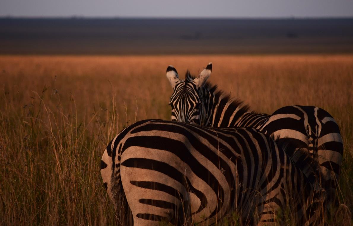 Serengeti  Plains, Serengeti National Park, Tanzania. H άφιξη στο Εθνικό Πάρκο συνέπεσε με το ηλιοβασίλεμα. Ίσως και να ήταν προγραμματισμένο, αλλά αποτέλεσε σίγουρα το καλύτερο καλωσόρισμα που θα μπορούσε να μας επιφυλάξει. Τα χρώματα από το μοναδικό αφρικανικό ηλιοβασίλεμα, δεν άφησαν ανέπαφες τις ζέβρες.  Στο πάρκο γίνεται η μεγαλύτερη μετανάστευση θηλαστικών στον κόσμο, καθιστώντας το ένα από επτά Φυσικά Θαύματα της Αφρικής. Η μετανάστευση λαμβάνει χώρα συνήθως μεταξύ Ιανουαρίου-Μαρτίου, την περίοδο των βροχοπτώσεων, αλλά τέλη Σεπτεμβρίου (λόγω πρόωρων βροχών) ήδη είχαν αρχίσει οι πρώτες ομάδες ζώων να μετακινούνται νότια.