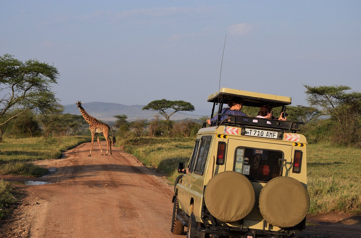 Serengeti  Plains, Serengeti National Park, Tanzania.  Το safari, ή αλλιώς game drive (διότι αποτελεί ενός είδους κρυφτοκυνηγητό μεταξύ αυτοκινήτου και ζώου) όπου  μπορεί δηλαδή να κερδίσεις -βλέποντας αμέτρητα ζώα-  ή μπορεί και να το χάσεις, βλέποντας απειροελάχιστα. Απαιτείται προσοχή, υπομονή και παρατηρητικότητα αλλά σε κάθε περίπτωση σε αποζημιώνει. Ο εντοπισμός, πάντως, των καμηλοπαρδάλεων δεν ήταν δύσκολος, καθώς αρκετές φορές ξεχώριζαν πάνω ακόμα κι από τις ακακίες. Οι καμηλοπαρδάλεις που ζουν στην Τανζανία και την Κένυα, ανήκουν στο είδος των Masai Giraffe, διότι το δέρμα τους παραπέμπει σε μοτίβο της νομαδικής φυλής των Μασάι.