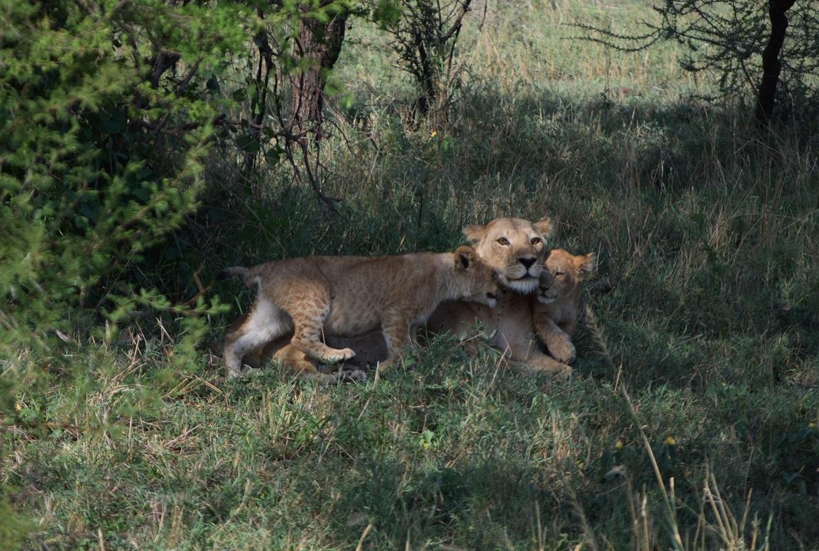 Seronera, Serengeti National Park, Tanzania.  Εντοπίσαμε σε κοντινή απόσταση από το μέρος που κατασκηνώσαμε τη λέαινα με τα μικρά λιονταράκια. Μας εντυπωσίασε η τρυφερότητα που έδειχνε στα μικρά της παρά το γεγονός ότι εν γένει αποτελεί το πιο άγριο και… επιθετικό μέλος του ζωικού βασιλείου λιοντάρια αναπαύονται 20 ώρες την ημέρα, κοιμούνται τις 16, και σκοτώνουν το θήραμά τους μόνο τη νύκτα.