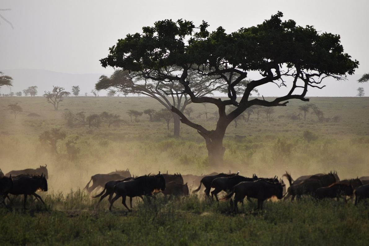 Serengeti  Plains, Serengeti National Park, Tanzania.  Τα wildebeest, ή αλλιώς γκνού, είναι το πολυπληθέστερο ζώο στο πάρκο, με 1,7 εκατομμύρια ζώα. Δεν φημίζονται για την εξυπνάδα τους, αλλά έχουν την ικανότητα να εντοπίζουν το νερό από πολύ μακριά και για αυτόν το λόγο πάντα συνοδεύονται από τις ζέβρες, οι οποίες με την σειρά τους έχουν πολύ καλή μνήμη. Ισχύς εν τη ενώσει.