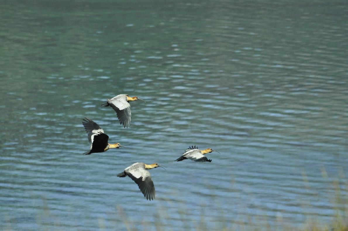 Τα παράξενα πουλιά Baturia.