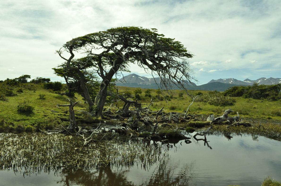 Κυρίαρχος ο άνεμος στην διαμόρφωση των δέντρων