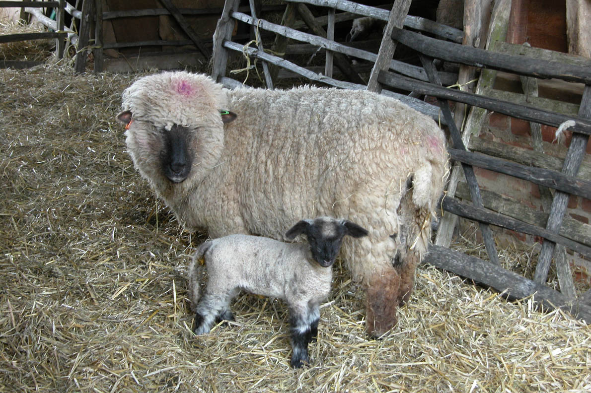 Chiltern_Open_Air_Museum_Oxford_Sheep