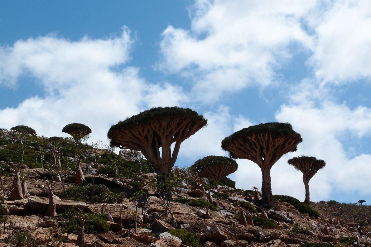 Τα περίφημα «δρακόδεντρα» της Σοκότρα. Σύμφωνα με έρευνες, περισσότερο από το ένα τρίτο των 800 περίπου φυτών που υπάρχουν στο νησί είναι ενδημικά. Το αρχιπέλαγος της Σοκότρα αποτελεί περιοχή υψίστης περιβαλλοντολογικής σημασίας και κέντρο οικοτουρισμού.