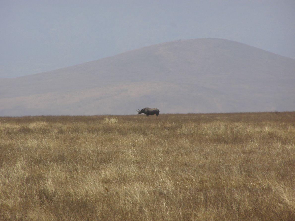 Ο μοναχικός ρινόκερος του Νγκορονγκόρο. Η πλειοψηφία έχει εξοντωθεί από λαθροθήρες, από τη στιγμή που οι Μασάι εκδιώχθηκαν από το εσωτερικό του κρατήρα. Τους επιτρέπουν μόνο να κατεβάζουν τα κοπάδια τους να βοσκήσουν και να τα ανεβάσουν πάλι πριν τη δύση.