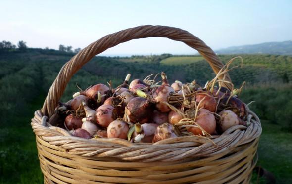 Βρουβιά: Η τρούφα της Μεσσηνίας