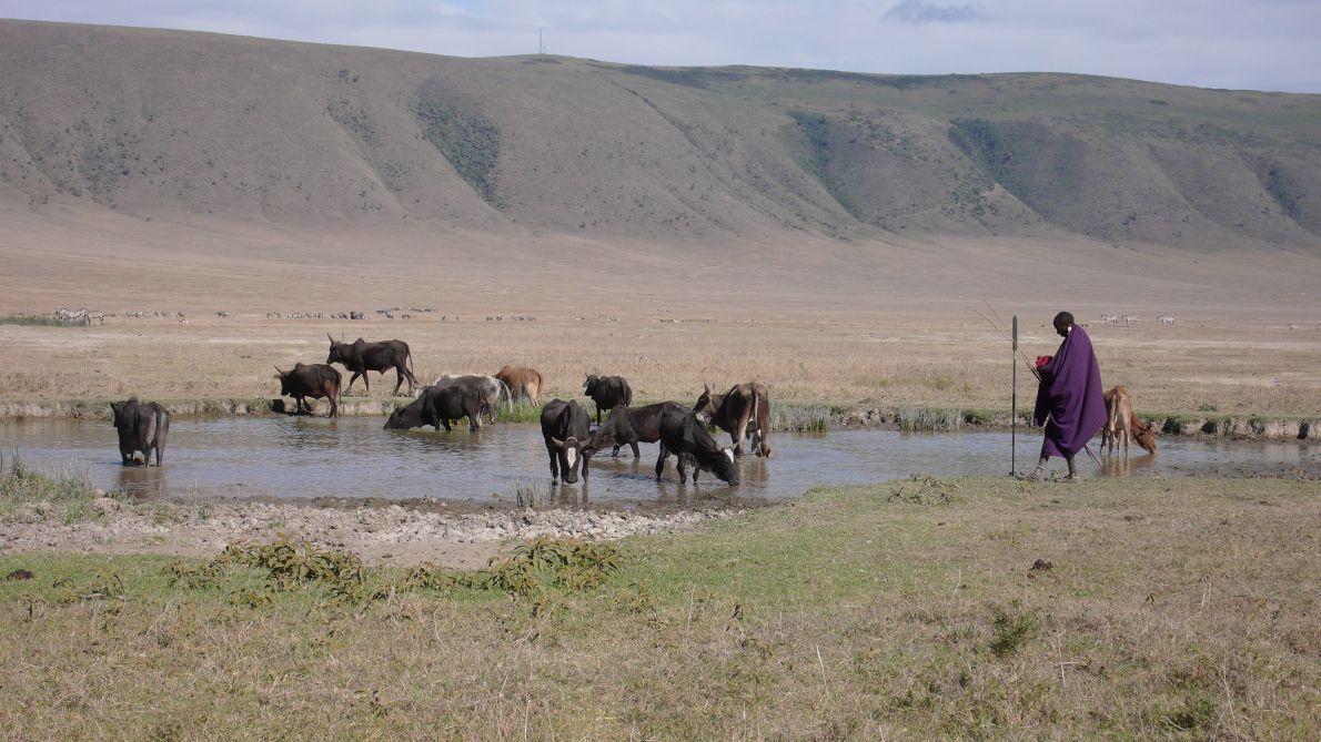 Κάτω από τον κρατήρα του Νγκορονγκόρο ένας Μασάι ποτίζει τα ζώα του.