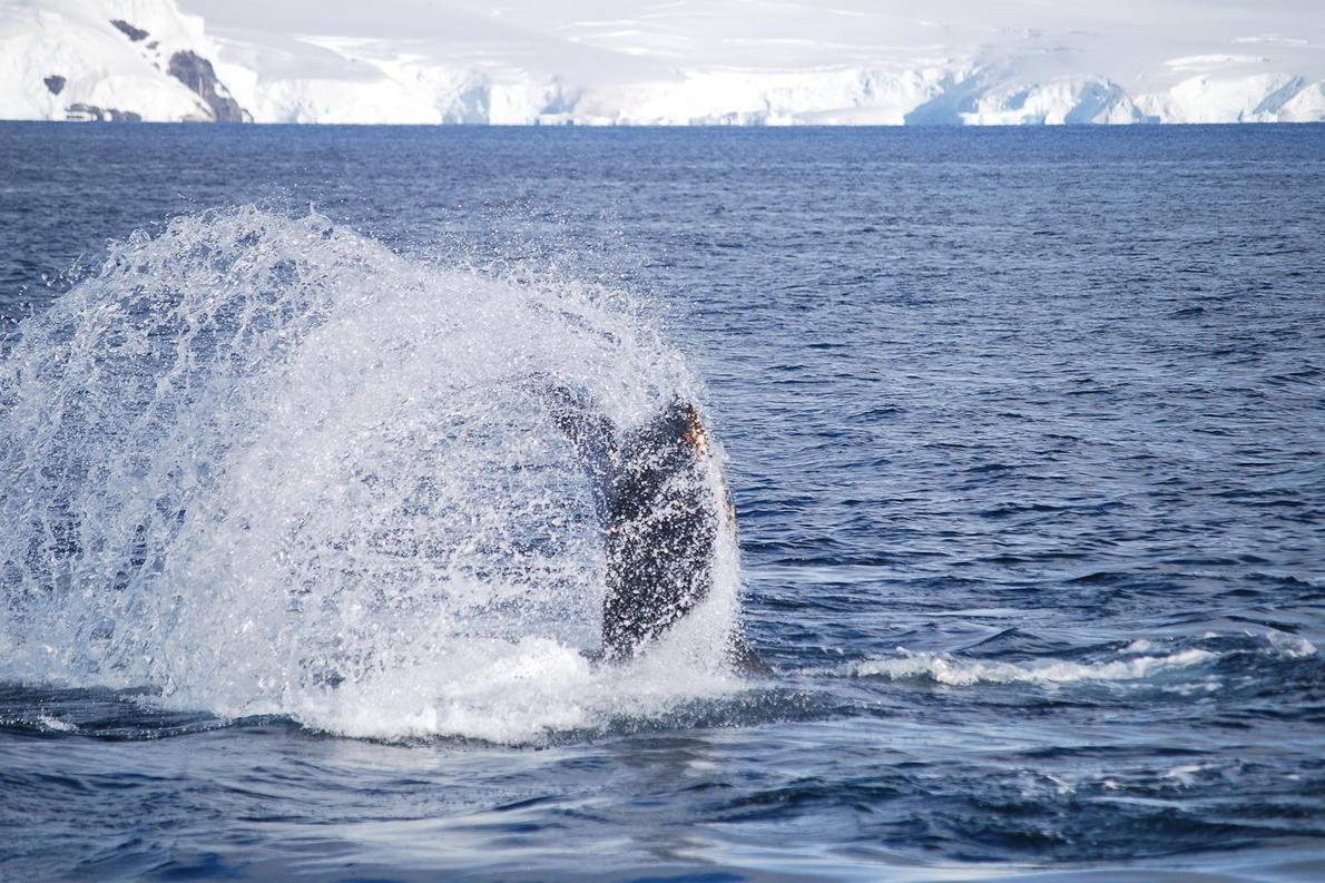 Οι φάλαινες συναντώνται στην Ανταρκτική τους καλοκαιρινούς μήνες ενώ το χειμώνα ταξιδεύουν προς τα βόρεια.