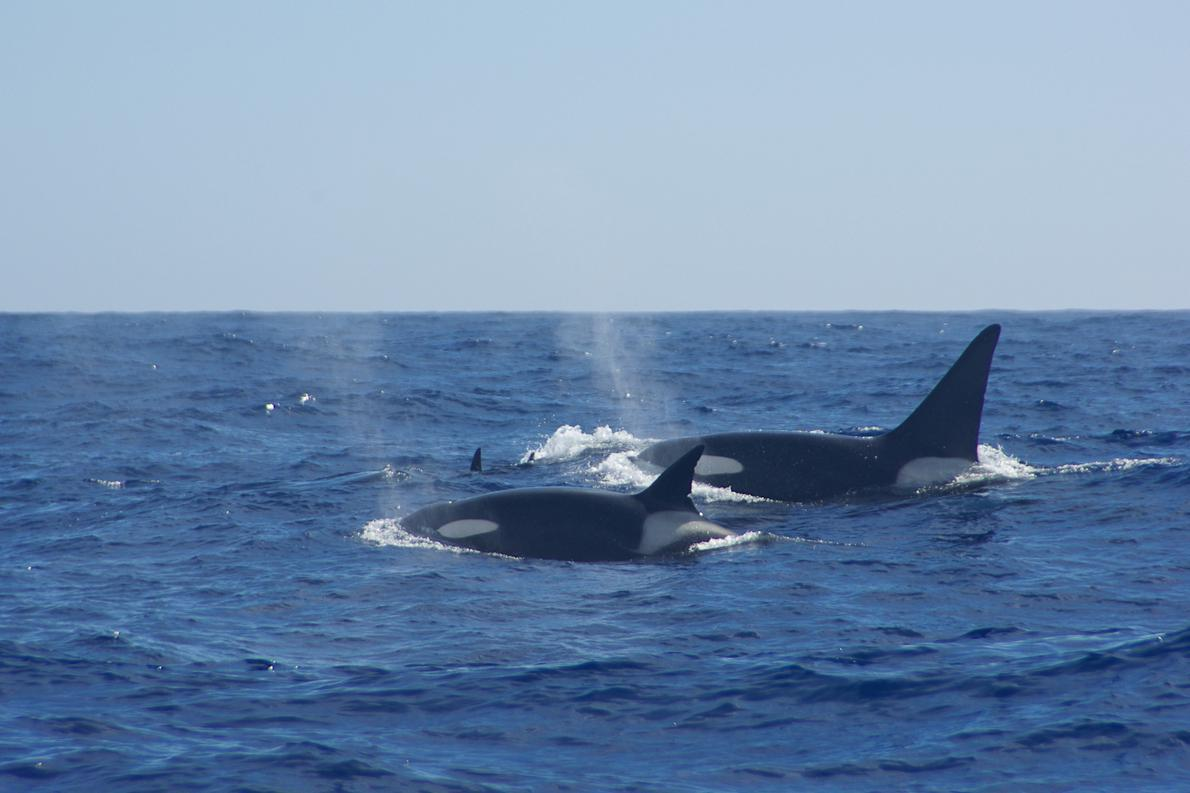 Οι φάλαινες Όρκα είναι πολύ πιο φιλικές απ' όσο πιστεύουμε οι περισσότεροι